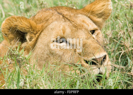 Lioness resting in the grass in the Serengeti National Park, Tanzania, Africa - Stock Photo