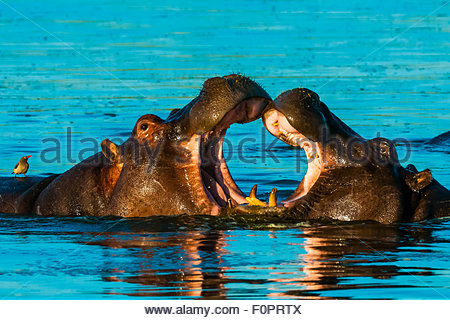 Two hippos splashing, Okavango Delta, Botswana. - Stock Photo