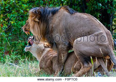 Lion and lioness mating, Kwando Concession, Linyanti Marshes, Botswana. - Stock Photo