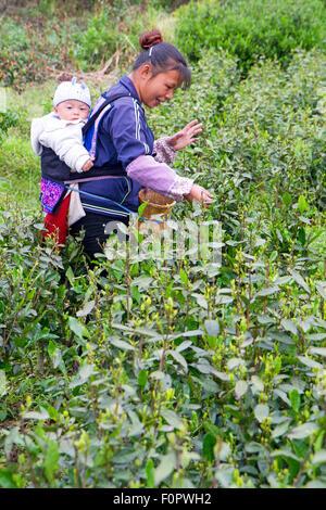 Tea picker in China's Guizhou province - Stock Photo