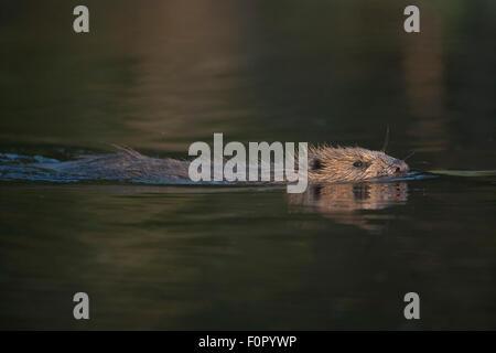 European beaver (Castor fiber) swimming in river, Bergslagen, Sweden, June 2009 - Stock Photo