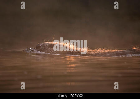 European beaver (Castor fiber) swimming in river, Bergslagen, Sweden, June 2009 - Stock Photo
