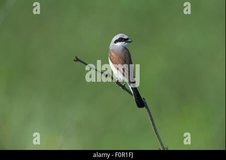 Red backed shrike (Lanius collurio) perched on small branch, Moldova, June 2009 - Stock Photo