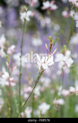 Gaura lindheimeri 'Whirling Butterflies' flowers. - Stock Photo