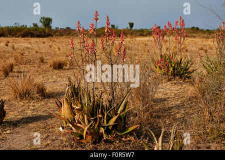 blooming red Aloe Vera, Uganda, Africa - Stock Photo