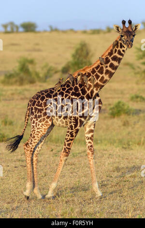 Masai giraffe (Giraffa camelopardalis), young animal with red-billed oxpeckers (Buphagus erythrorhynchus) on its - Stock Photo