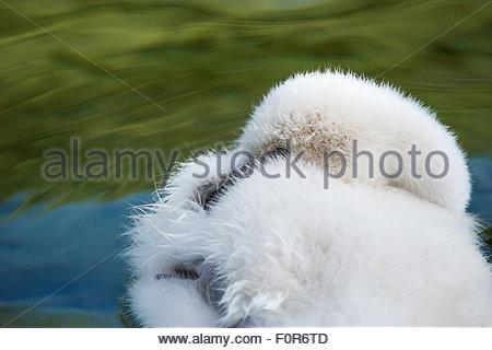 Fluffy mute swan cygnet - Cygnus olor - Stock Photo
