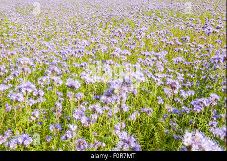 Field of pink wildflowers in green flowerbed for honey bees - Stock Photo