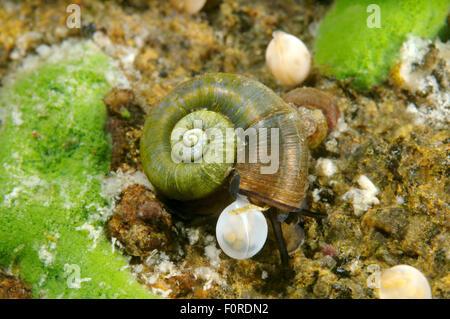 Lake Baikal, Siberia, Russia. 15th Oct, 2014. snail next to caviar. Great Ramshorn Snail (Planorbis planorbis), - Stock Photo