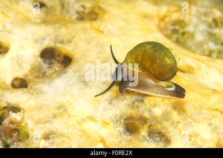 Lake Baikal, Siberia, Russia. 15th Oct, 2014. mollusc (Benedictia baicalensis) Lake Baikal, Siberia, Russia © Andrey - Stock Photo