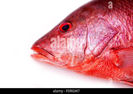 Northern Red Snapper Lutjanus campechanus fish isolated on a white background. - Stock Photo