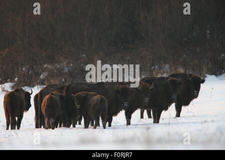 Wisent / European Bison (Bison bonasus) on snow watching the photographer. Bieszczady, Carpathian Mountains, Poland, - Stock Photo
