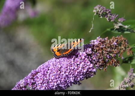 Aglais urticae Small Tortoiseshell  butterfly feeding on buddleja flowers - Stock Photo