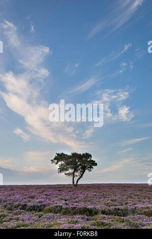 Lone tree and heather in bloom on Wheeldale Moor, The North Yorkshire Moors, England, August 2015 - Stock Photo