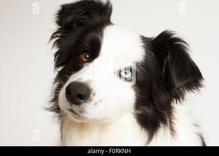 Black and white border collie doing a head tilt - Stock Photo
