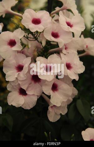 Pandorea jasminoides 'Rosea' close up of flowers Stock Photo