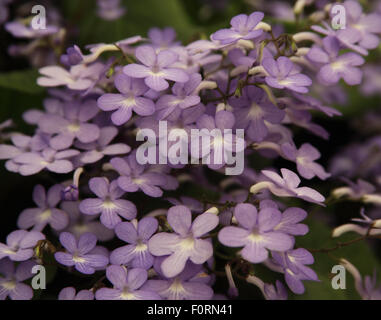Streptocarpus 'Falling Stars' close up of flowers - Stock Photo