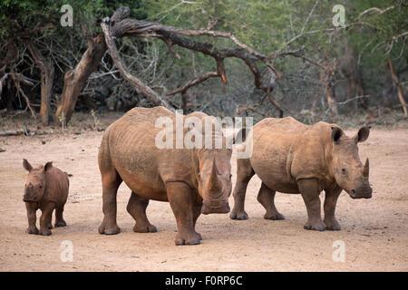 White rhino (Ceratotherium simum) with calf, Kumasinga water hole, Mkhuze game reserve, KwaZulu Natal, South Africa - Stock Photo