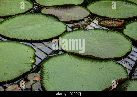 Giant Water Lillies ,Victoria Amazonica ,in The Lilly House at Kew Gardens , Kew , London,UK - Stock Photo