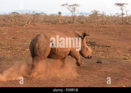 White rhino (Ceratotherium simum), Zimanga private game reserve, KwaZulu Natal, South Africa - Stock Photo