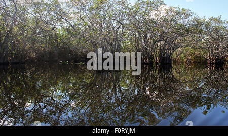 Reflection of trees in everglades wetland - Stock Photo