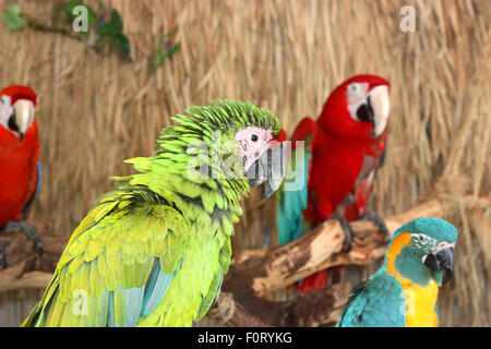 Colorful Macaws on the branch - Stock Photo