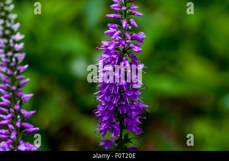 Obedient Plant/False Dragonhead (Physostegia virginiana) - Stock Photo