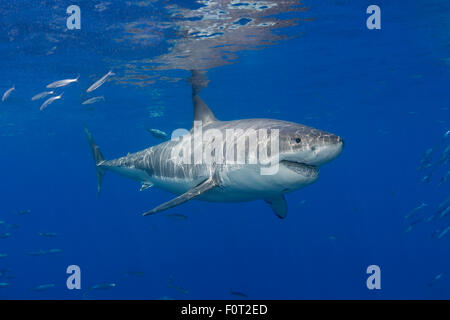 This great white shark, Carcharodon carcharias, was photographed off Guadalupe Island, Mexico. - Stock Photo