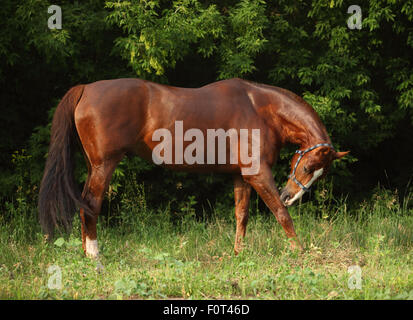 Bay horse in a summer forest - Stock Photo