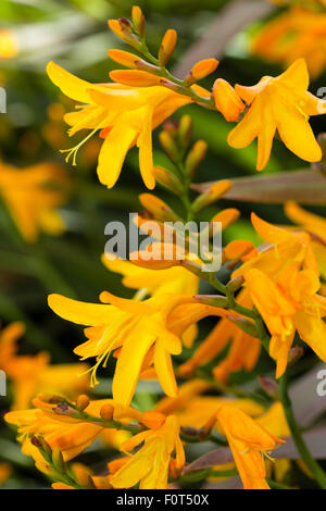 Yellow-orange flower and buds of the late summer flowering corm, Crocosmia 'Gerbe d'Or' - Stock Photo