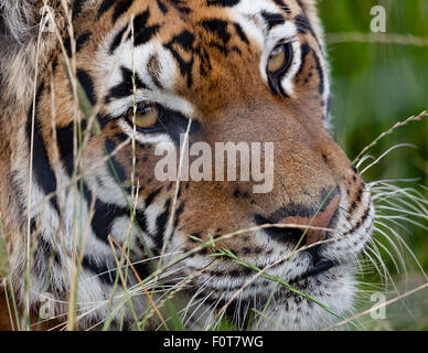 Tiger in the grass close up headshot - Stock Photo