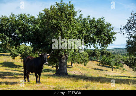 Domestic cattle (Bos taurus) once used to be native to this area, Campanarios de Azaba Biological Reserve, a rewilding - Stock Photo