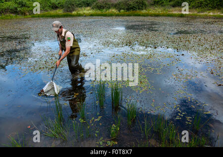 Man pond dipping in Campanarios de Azaba Biological Reserve, a rewilding Europe Area, Salamanc, Castilla y Leon, - Stock Photo