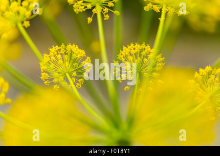 Fennel (Foeniculum vulgare) close up of flowers, Campanarios de Azaba Biological Reserve, a rewilding Europe Area, - Stock Photo