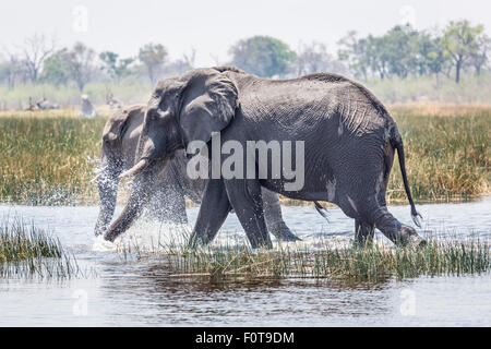 African bush elephants (Loxodonta africana) splashing through water, Okavango Delta, north Botswana, southern Africa - Stock Photo
