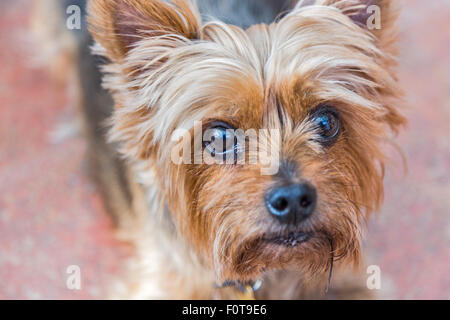 Close up head shot of Yorkshire terrier, a small, cute pet dog, a pampered pooch, with large, appealing eyes gazing - Stock Photo