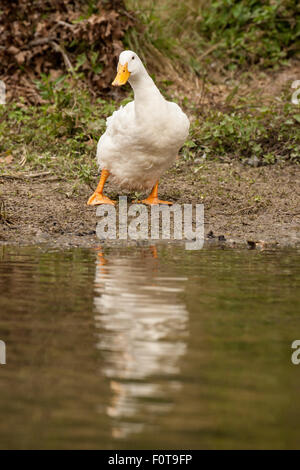 Pekin duck, seemingly unsure of whether to get in the pond, looking a bit wobbly, in Hermann Park in Houston, Texas, - Stock Photo