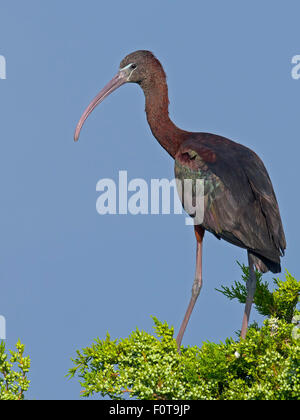 Glossy Ibis sitting in  a tree - Stock Photo
