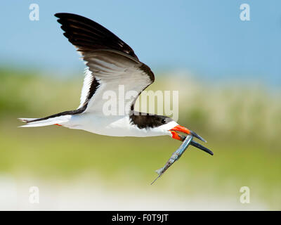 Black Skimmer in Flight with Northern Pipefish - Stock Photo