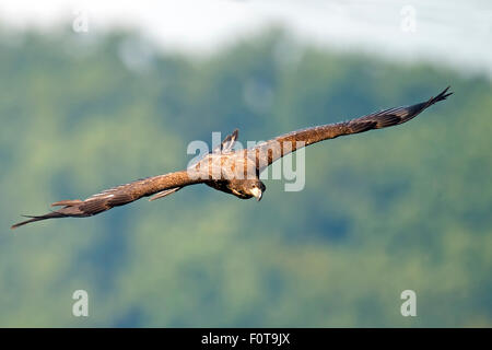 Juvenile American Bald Eagle in Flight - Stock Photo