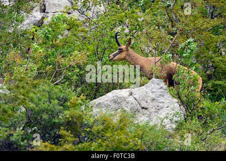 Balkan Chamois (Rupicapra rupicapra balkanica) Gems, Paklenica National Park, Velebit Nature Park, Rewilding Europe - Stock Photo