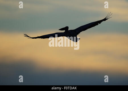 Dalmatian pelican (Pelecanus crispus) silhouetted in flight at dawn, Danube delta rewilding area, Romania May - Stock Photo