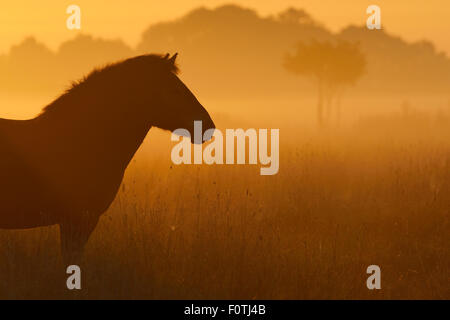 Exmoor pony at sunrise, one of the oldest and most primitive horse breeds in Europe, Keent Nature Reserve, The Netherlands, - Stock Photo