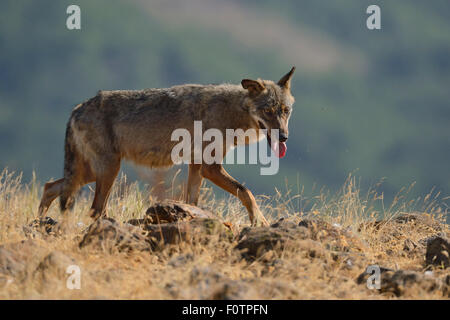 Eurasian grey wolf (Canis lupus lupus) at a vulture watching site in the Madzharovo valley, Eastern Rhodope Mountains, - Stock Photo