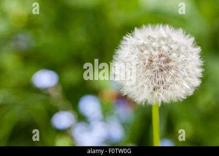 Common dandelion - Taraxacum officinale -, Parc Naturel de la Chartreuse, Isere, Rhône-Alpes, France - Stock Photo