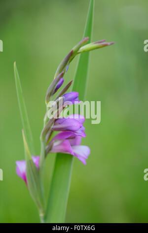 Gladiolus in flower (Gladiolus sp) Eastern Rhodope Mountains, Bulgaria, May 2013. - Stock Photo