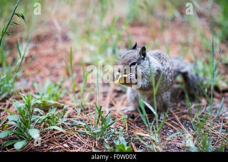 Ground squirrel, Yosemite National Park, California, USA Stock Photo