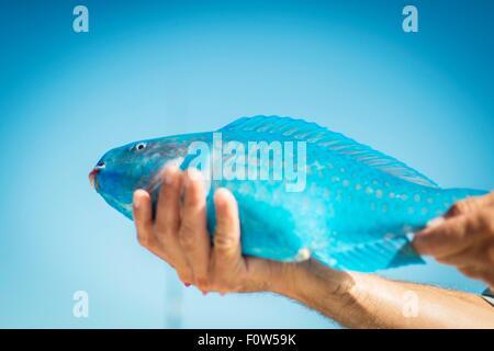 Male hand holding turquoise parrot fish, Islamorada, Florida, USA - Stock Photo
