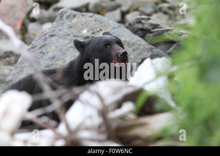Black Bear hunting for salmon at Herring Bay, Ketchikan, Alaska - Stock Photo