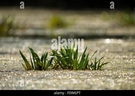 Partly submerged Water soldier / Water pineapple (Statiotes aloides) in a small lake in Danube Delta, Romania, June. - Stock Photo
